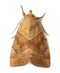 Moth Control Whittington